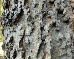 The bark of a hackberry tree.