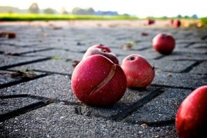 Bruised apples on the ground.