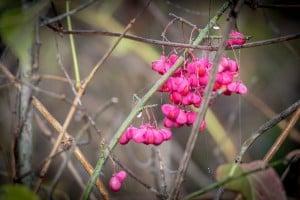 Eastern Wahoo growing in the wild.