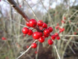 Berries on an aging possum haw tree.