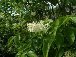 Bladdernut tree growing in the wild.