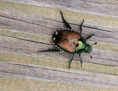 How to Treat & Protect Your Lawn From Japanese Beetle Infestations in Missouri