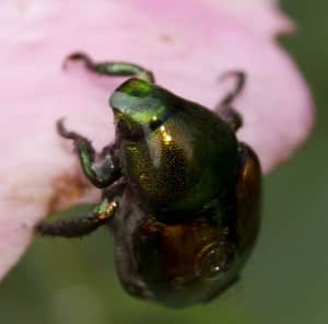 Japanese beetle eating a flower.