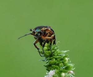 A Japanese Beetle on a piece of greenery.