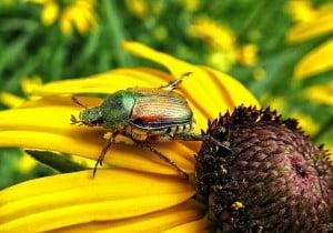 Japanese Beetle on sunflower.