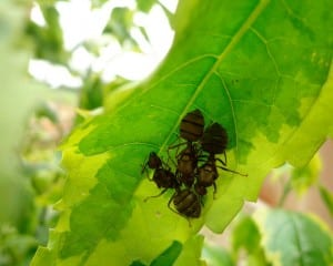 African weaver ants together.