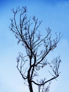 Tree that has gone dormant.