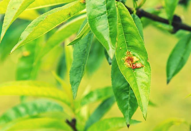 Disease on tree